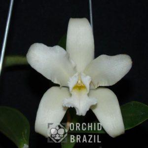 C. amethystoglossa alba Estrela Alva Cvsn (2) (Medium)