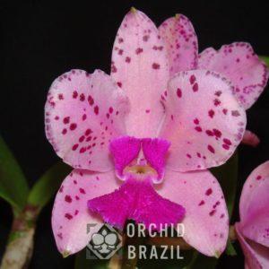 C. amethystoglossa tipo Paraíso Cvsn-Jéssica x Catamarã (2) (Medium)