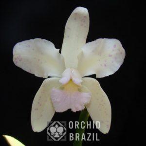 C. amethystoglossa var. amesiana Augusto José Fernandes Cvsn-F2012.nativa (2) (Medium)