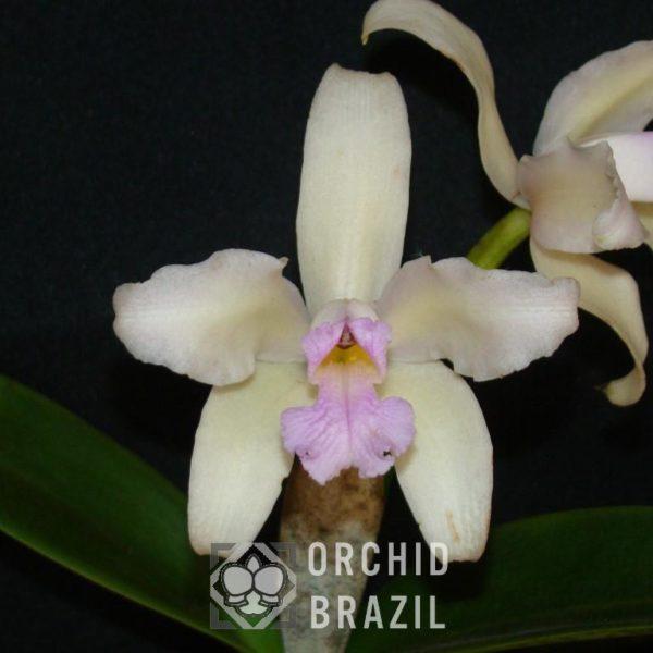 C. amethystoglossa var. amesiana Campo Limpo Cvsn (3) (Medium)