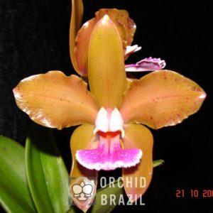 C. granulosa Crispim Fortes