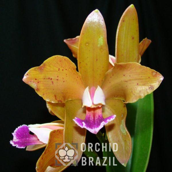 C. granulosa Dalfredo II