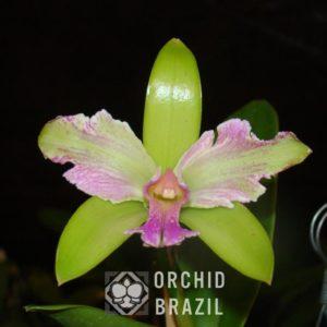 C. granulosa trilabelo Imperatriz (Medium)