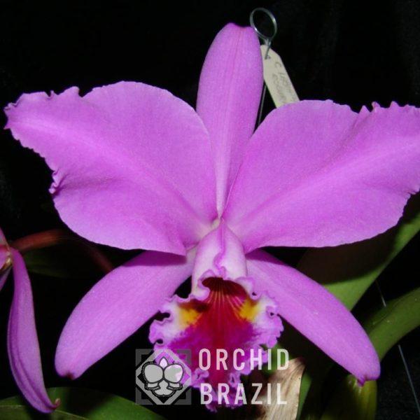 C. labiata tipo Vinaya