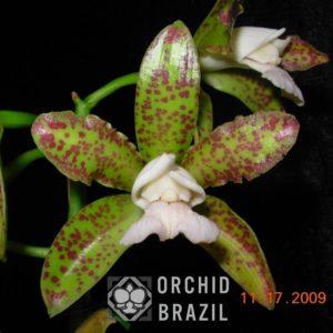C. leopoldii albescens Cetro de Esmeralda