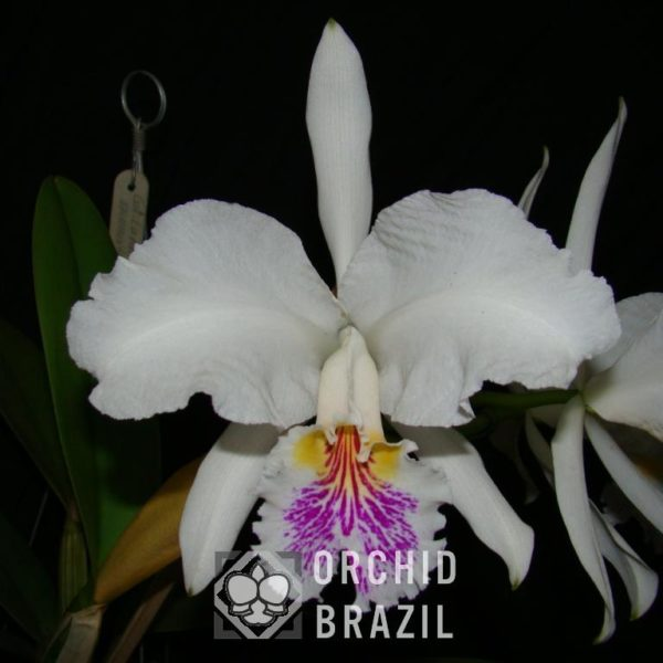 C. luedemaniana semi alba Algodão Doce Cvsn