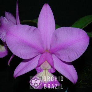 C. nobilior Paracatú Cvsn