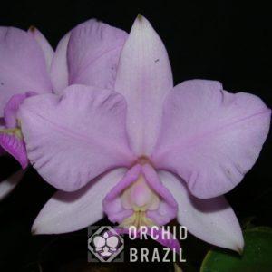 C. nobilior Terra Seca Cvsn