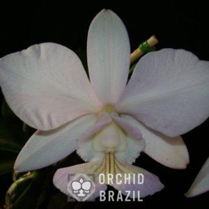 C. nobilior amaliae Belo Monte Cvsn