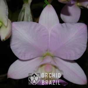 C. nobilior amaliae Juliana-nativa