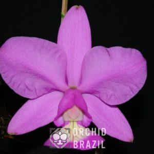C. nobilior tipo Malibú Cvsn