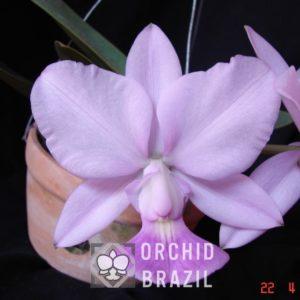 C. walkeriana caerulea Andrezinho-OCB-S2