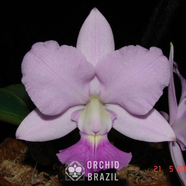 C. walkeriana caerulea Lígia Cavasini-A42