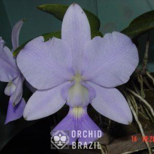 C. walkeriana caerulea Rafael LR
