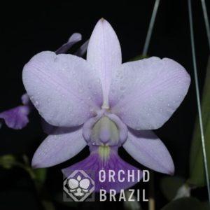 C. walkeriana cerúlea Cíntia Cavasini-A20