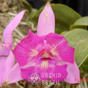 C.walkeriana trilabelo Cavasini-NT (Medium)