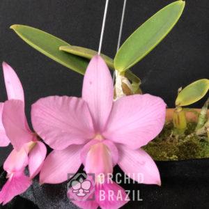 Cattleya Walkeriana Vinicolor